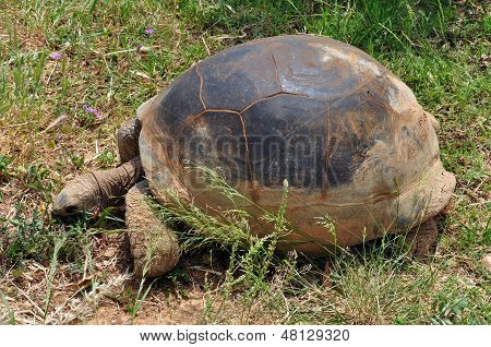 Aldabra Giant Tortoise Feeding On Grass