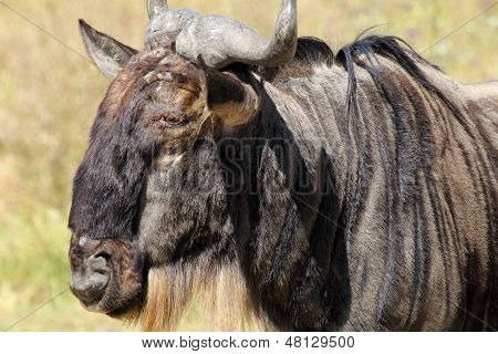 Portrait Of A Blue Wildebeest