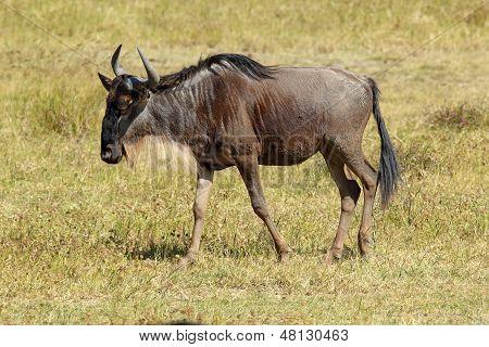 Blue Wildebeest Walking
