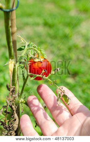 Caring For Homegrown Tomatoes