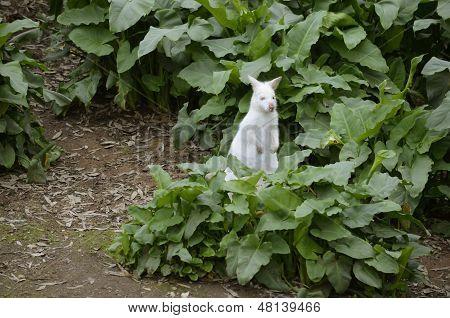 Albino Wombat