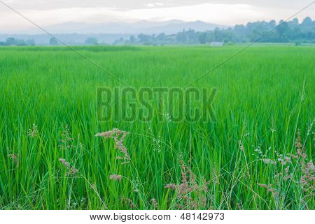 Paddy Rice Fields At Chiang Mai,northern Thailand.