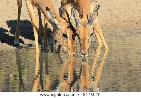 Impala - Wildlife Background from Africa - Drinking Reflection of Beauty