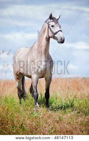 Dutch warmblood horse on a field