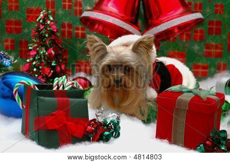 Yorkie In A Santa Suit