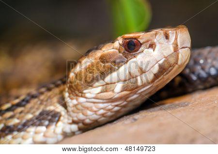 Extreme close up image of cottonmouth snake (Agkistrodon piscivorus)