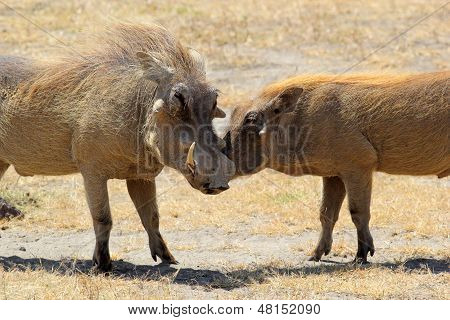 Couple Of Warthogs Loving