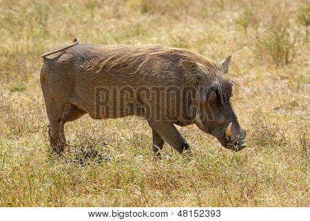 A Warthog Walking