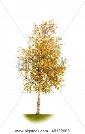 Yellowed Birch