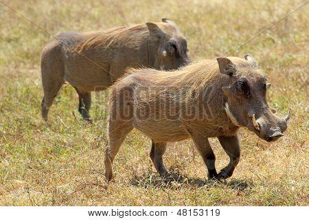 Couple Of Warthogs Walking