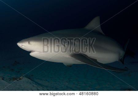 Bull Shark in the Deep