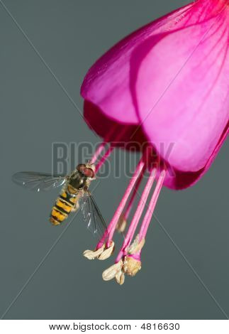 Rat-tailed Maggot And Hover Fly