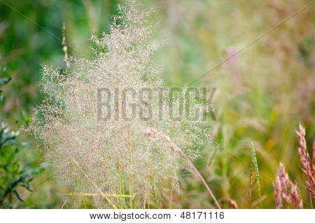 Bluegrass In A Field In Summer