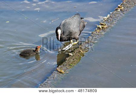 Blässhuhn Macoule Seiltänzer, ein Teich in Frankreich