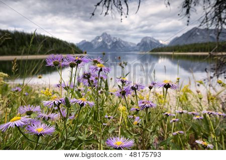 Lavender Aster In The Tetons