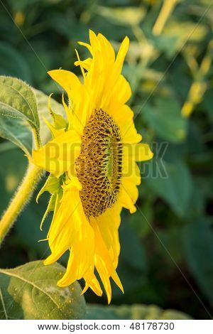Sunflowers In Early Evening As Sun Sets