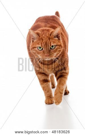Orange Tabby Cat Walking