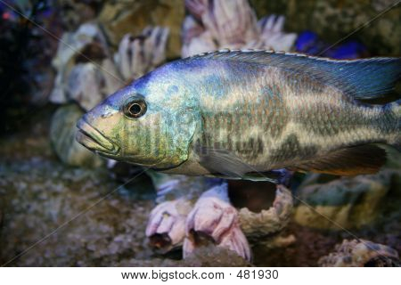 Varicoloured Is Fish
