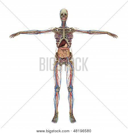 Accurate Female Anatomy