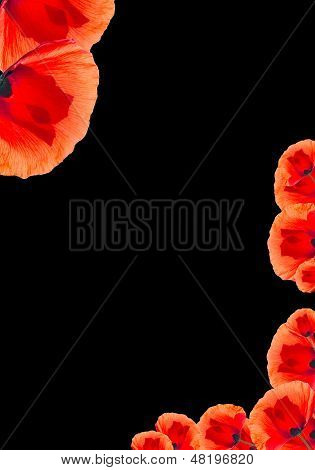 Red Poppy Background