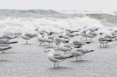 picture of flock seagulls  - Flock of seagull on the edge of wild water of point pelee