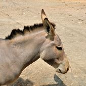 pic of horses ass  - Somali wild ass - JPG