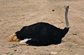 stock photo of ostrich plumage  - African wild ostrich sitting on the ground - JPG