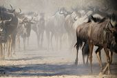 Blue Wildebeest - Wildlife Background from Africa - Migration of Dust