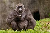 stock photo of gorilla  - Portrait of Western Lowland gorilla  - JPG
