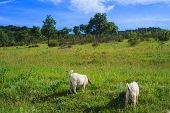 picture of headstrong  - The Goats grazing in the green countryside - JPG