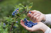 pic of pick up  - Women picking ripe blueberries close up shoot