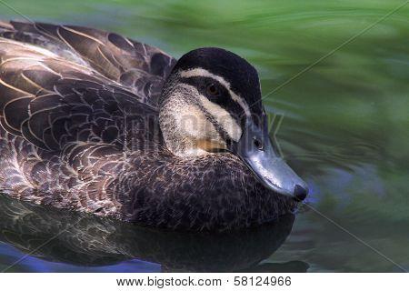Black Duck Closeup