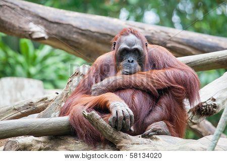 Sumatran Orang Utan