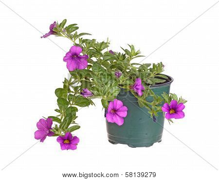 Potted Seedling Of A Calibrachoa Isolated Against White