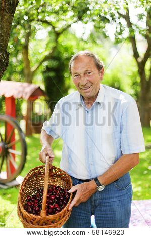 Attractive Senior Man 70 Years Old Picking Cherries In His Garden.