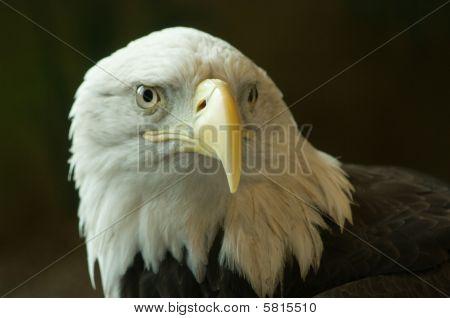 Bald Eagle On Black