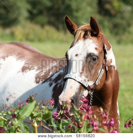 Nice Paint Horse Mare Behind Purple Flowers