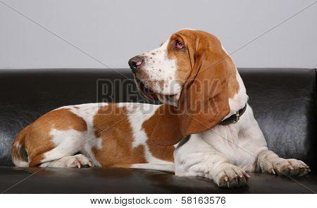 Dog Of Basset-haund Lies On Sofa