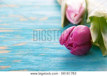 Rosa Tulip