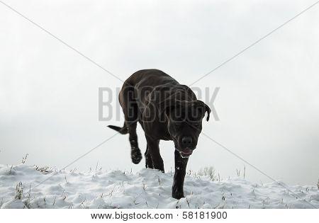 Cane Corso In Winter