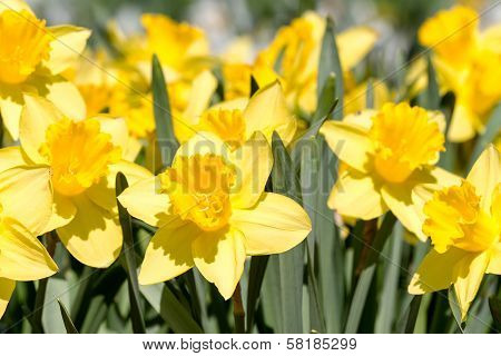 Yellow Spring Narcissus