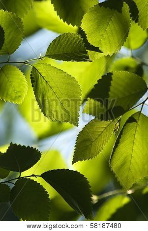 Closeup Of Elm Leaves