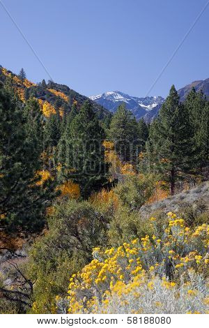 Aspens, Pines, And Rabbit Brush