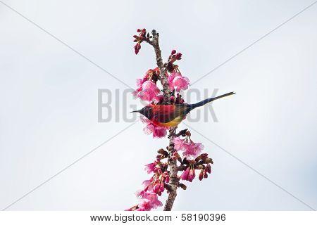 Green Trail Sunbrid On Cherry Blossom