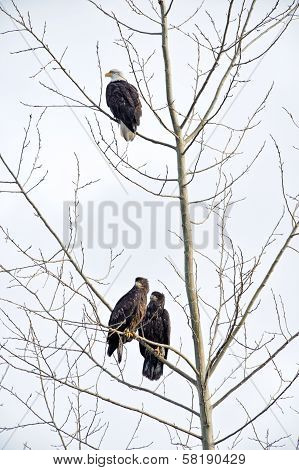 Bald Eagles in Winter Tree