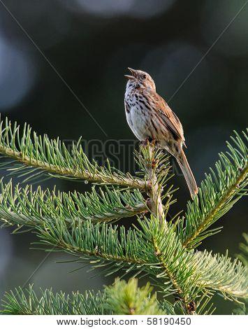 Son g Sparrow Sings