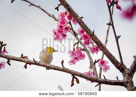 White-eye Bird On Cherry Blossom