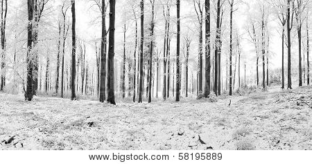 Winter Beech Forest