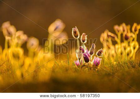 Pasqueflowers In Spring