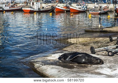 Sea Lion Basking In The Sun In The Marina Port Of Punta Del Este, Uruguay
